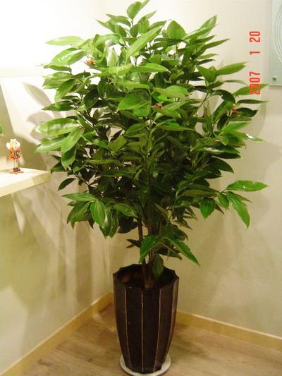 平安树的 花语 -合家幸福